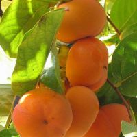 2016年春季牛心柿子树苗价格 货源充足的柿子树苗基地