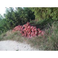 3公分米径池杉苗,基地自产自销,价格优惠,质量保证