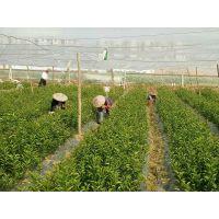 梧州南瓜桔苗价格多少钱