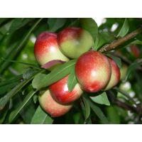 供应陕西中油12油桃价格/陕西中油12油桃产地价格/中油12油桃批发价格。
