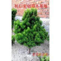 东北密枝红豆杉、密枝红豆杉扦插苗、日本红豆杉基地