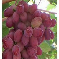 科伦生葡萄苗基地 泰安润佳农业品种纯正 产量高 价格优惠