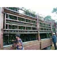 淄博猕猴桃树苗,猕猴桃种植注意事项,济南猕猴桃种植