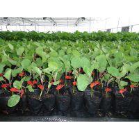 优质茄子嫁接苗,抗病、增产、增收