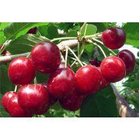 俄罗斯8号樱桃苗一亩地栽多少
