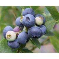 蓝莓苗基地、青浦区蓝莓苗、仁源农业科技(在线咨询)