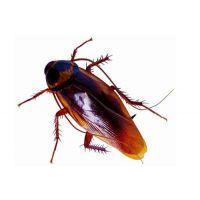 天下无虫(在线咨询),酒仙桥家庭灭蟑螂,家庭灭蟑螂的方法