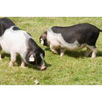 宁乡花猪 肉质细嫩土花猪 统货猪 花猪发源地