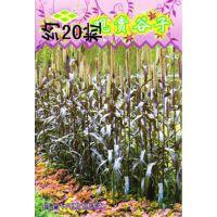 花卉种子 观赏谷子种子 紫御谷 观果植物 23粒/包
