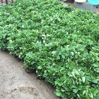 乾纳瑞农业科技(在线咨询)、广州红颜草莓苗、红颜草莓苗报价