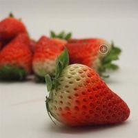 昭通红花草莓苗 乾纳瑞农业科技(图) 红花草莓苗种植