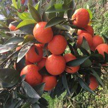金秋砂糖橘真的有世纪红柑橘那么好吗 世纪红当之无愧柑橘之王