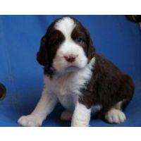 宠物狗)纯血统史宾格猎犬,狗场繁殖史宾格幼犬,质保三年