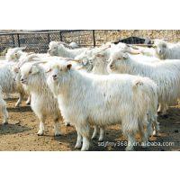 专业的波尔山羊种养养殖场 山东俊发肉羊养殖场