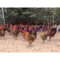 厂家直销优质高品质青脚土鸡鸡苗 优良品种健康鸡苗品质保证