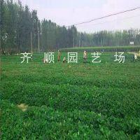 牛奶草莓苗成活率高 草莓苗大棚好品种