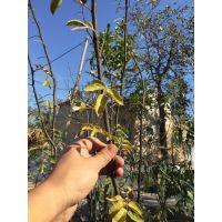 花椒苗 基地供应优质花椒苗 泰安壹棵树农业科技 欢迎基地看苗