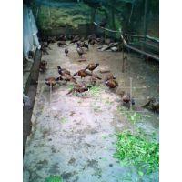 供应福建野山鸡养殖、福建山鸡养殖、特种珍禽种苗批发、野鸡苗