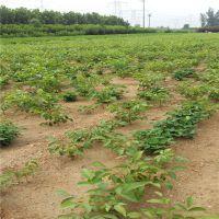 嫁接核桃苗品种 适合农民致富的果树苗品种 薄皮核桃苗 纸皮