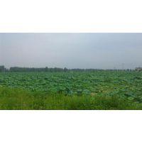 汉川藕御莲藕种植场、鄂莲七号批发、北安市鄂莲七号