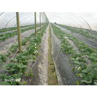 草莓苗批发 草莓苗种植基地 山东草莓苗
