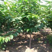 壹棵树农业大樱桃树苗基地 吉塞拉矮化大樱桃苗价格