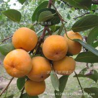 牛心柿子树苗直销 黄柿子 树苗批发 果树苗 现货充足 当年结果苗