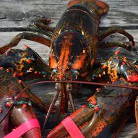 水产鲜活海鲜 美国大龙虾 78元/斤 波士顿龙虾 发活的450g-560g