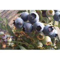 蓝莓苗|百色农业|西南大学蓝莓苗