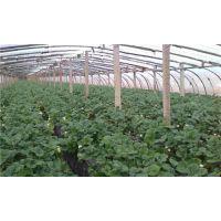 温州章姬草莓苗|世杰园艺场|章姬草莓苗哪里好