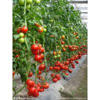 荷兰进口炎阳一号-粉果番茄种子