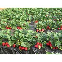 优质脱毒草莓苗基地批发价,草莓苗2015年格,批发中心电话