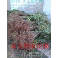 红油香椿苗大棚种植怎么样 大棚红油香椿苗批发市场