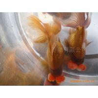 观赏鱼  金鱼   淡水鱼   鱼苗  徐州金鱼  金鱼养殖场