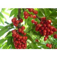 云南樱桃苗种植技术,云南樱桃苗出售, 云南樱桃苗产量