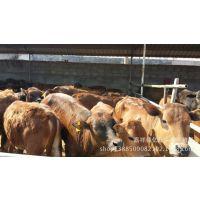 纯种鲁西黄牛 厂家批发鲁西黄牛牛犊 绿色养殖价格更优