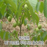 清香核桃苗 好吃的高产的 优质 泰东园艺场