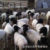 纯种杜泊绵羊价格 杂交杜泊绵羔羊 绿色养殖杜泊绵羊利润