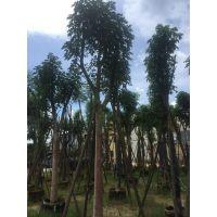 广西10公分秋枫袋苗价格通透,广西秋枫丛生质量好假植技术