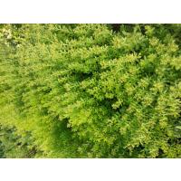 保定大汉绿洲出售优质八宝景天苗