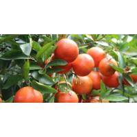 武宣供应血橙苗|武宣2017血橙苗哪里有卖啊|武宣血橙苗价格