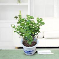 武汉大型绿植基地供应小型茉莉花盆栽,带花朵的植物茉莉花盆栽,武汉送货上门