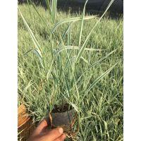 多年生草本玉带草种植基地