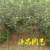 贺州哪里有苹果苗卖 苹果嫁接苗 苹果实生苗 泰安源昌苗圃批发