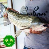 北京淡水鱼出售 草鱼苗价格 1两--1斤鱼苗批发市场 量大从优