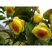带花蕾的金花茶树苗多少钱一棵 带花的金花茶树苗盆栽价格及图片欣赏
