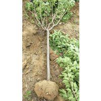 泰安4公分樱花树苗,4公分樱花树苗价格