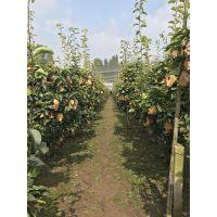 金果梨南北方水果签订回收合同解决销路良种种植户耐存放核小好吃苗木农业种植