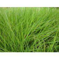 绿野生态科技专业销售批发草坪草种,绿化草种,灌木种子,护坡草种