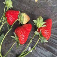 法兰地草莓苗遮阳